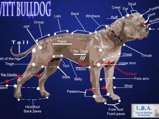 Scientific illustration of the Leavitt bulldog, a healthier breed of English bulldog