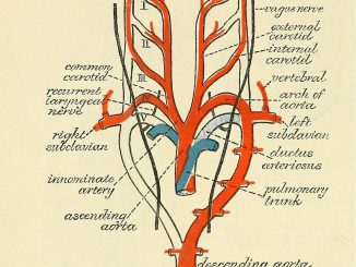 Scientific illustration of arterial arches, the blood vessels around the heart that look like a drawing of a heart