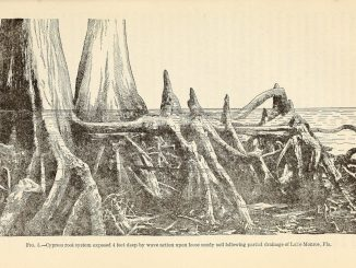 Scientific illustration of cypress roots and cypress knees in a southern swamp
