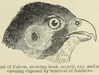 Scientific illustration of a falcon's head, showing the ears of a bird of prey.